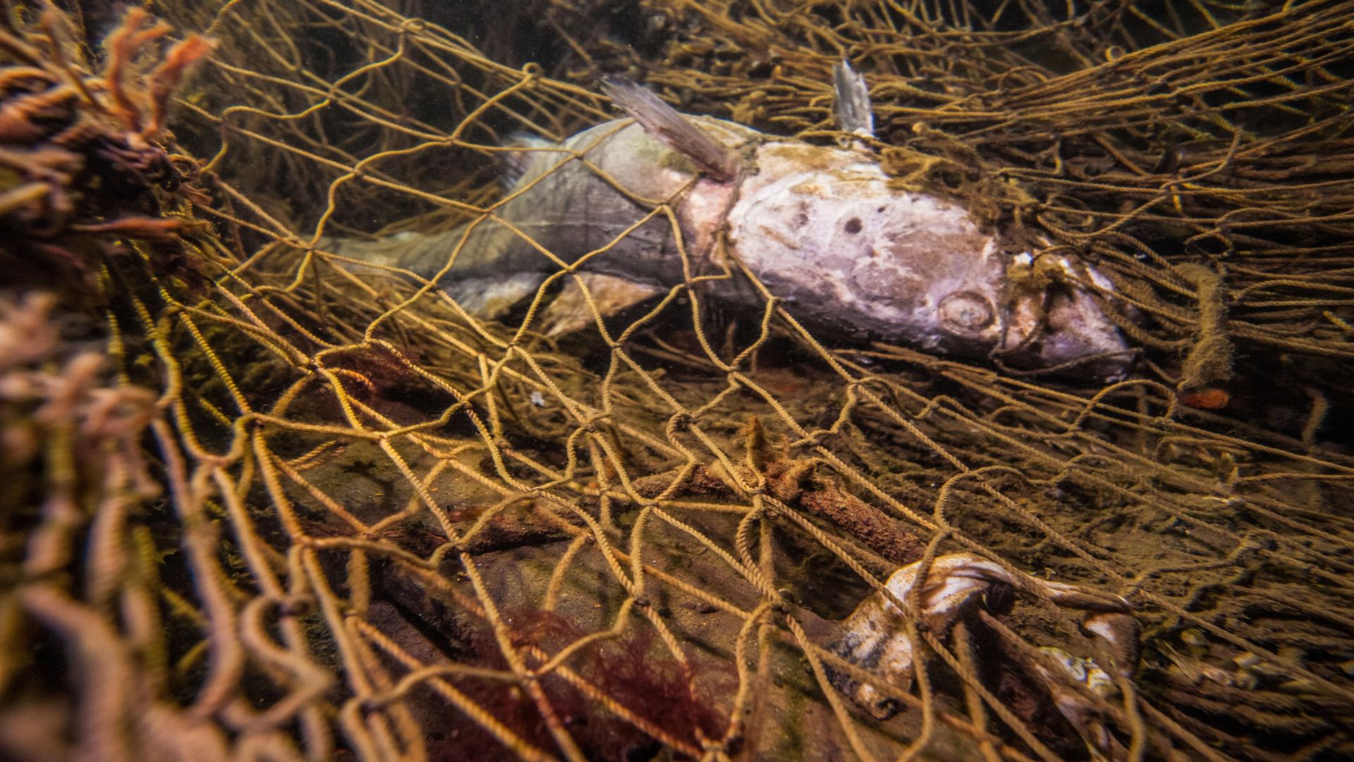 Ein weißer Schweinswal liegt tot an der felsigen Küste von Fehmarn.
