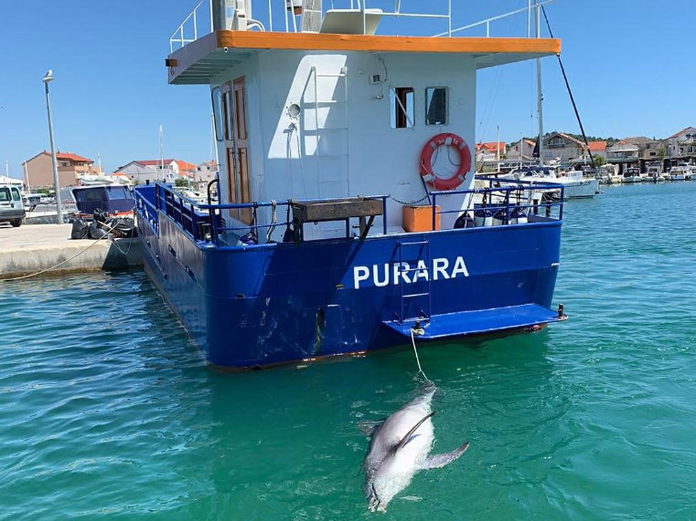 Bergung eines toten Adria-Delfins.