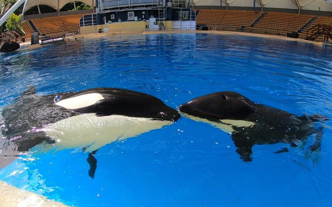 """Nach dem Tod des Orca-Kalbs """"Ula"""": Wie viele Orcas müssen im """"Loro Parque"""" noch sterben?"""