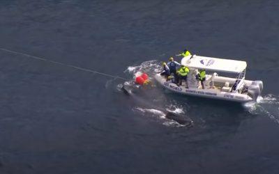 Gefährliche Rettungsaktion: Buckelwal verheddert sich im Hai-Netz
