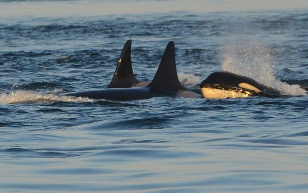 Spanien: Angriffe von Orcas auf Segelboote nehmen zu