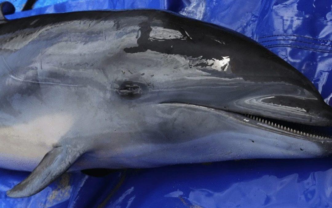 Hawaii: Neue Morbillivirus-Variante bereitet Delfin-Forschern große Sorge