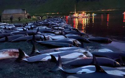 """Ein Monat nach der Delfinschlachtung: """"Die Welt darf das Massaker auf den Färöern nicht vergessen!"""""""