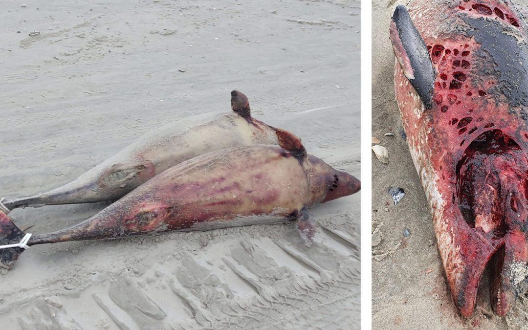 Durch Militärübung? Zahlreiche tote Schweinswale im niederländischen Wattenmeer