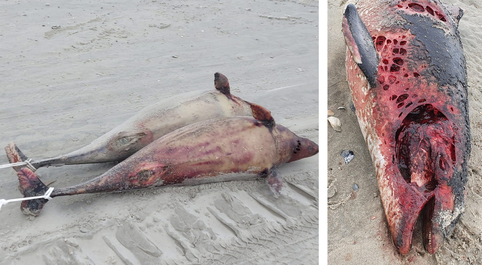 Schweinswal-Massenstreicheln in der Ostsee bei Grömitz