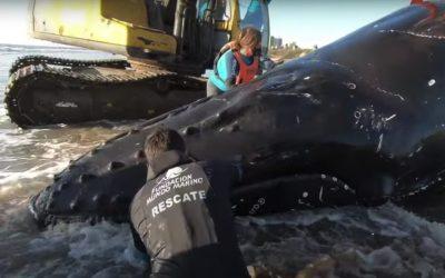 Geglückte Rettung: Diese Delfine und Wale haben ihre Strandung überlebt