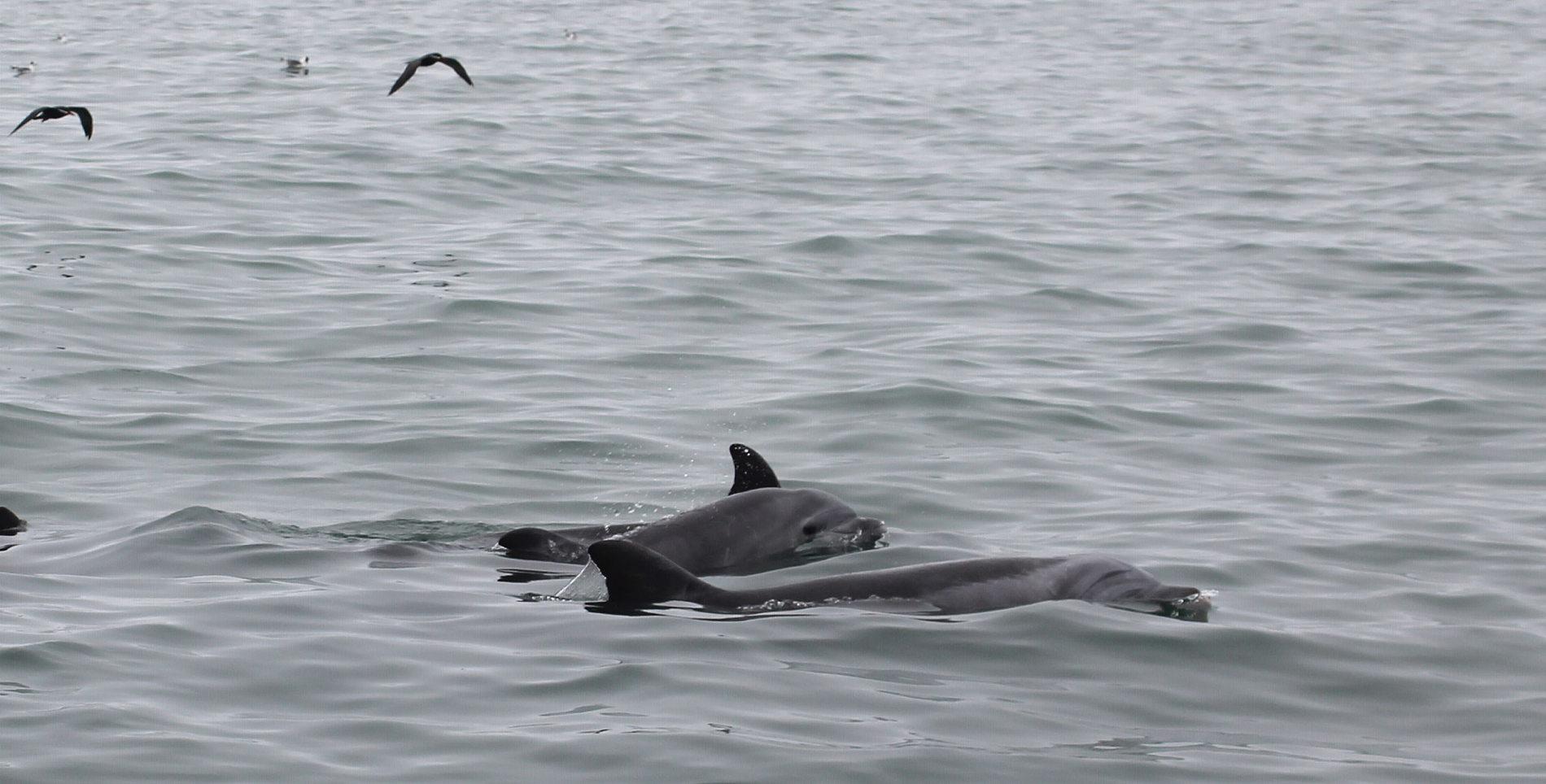 Neustart des Delfinschutzprojekts in Peru: Die Delfine waren während der ganzen Lockdown-Zeit da geblieben!