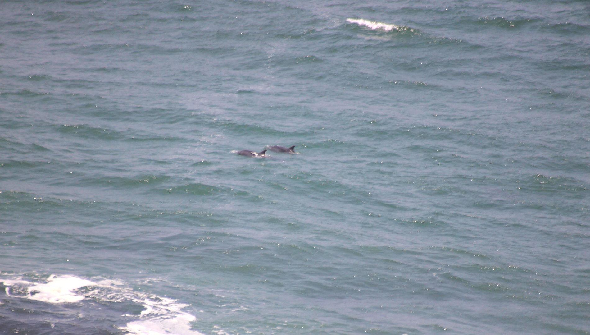 Neustart des Delfinschutzprojekts in Peru: Supay-Delfine, ungestört von Booten und Touristen.